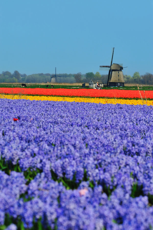 Download Tulips And Windmill Royalty Free Stock Photo - Image: 9045695