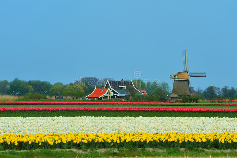 Download Tulips and windmill stock photo. Image of dutch, garden - 9046162
