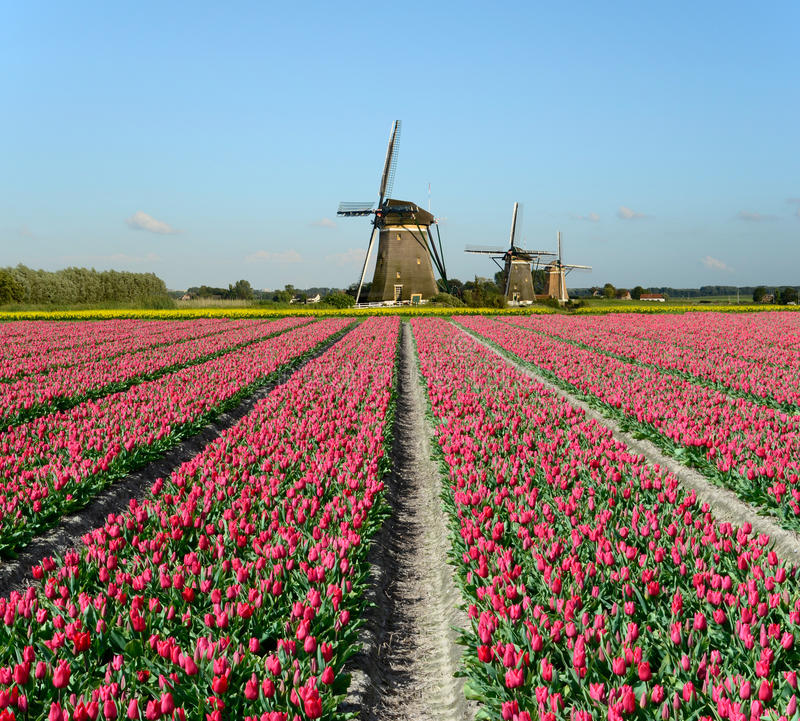 Tulips and windmills in Holland royalty free stock photos