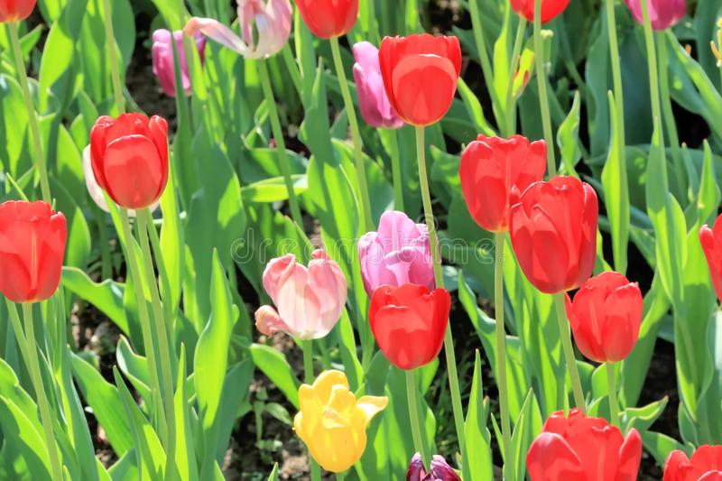 Scarlet, pink and yellow tulips in a beautiful spring on a fun lawn royalty free stock images
