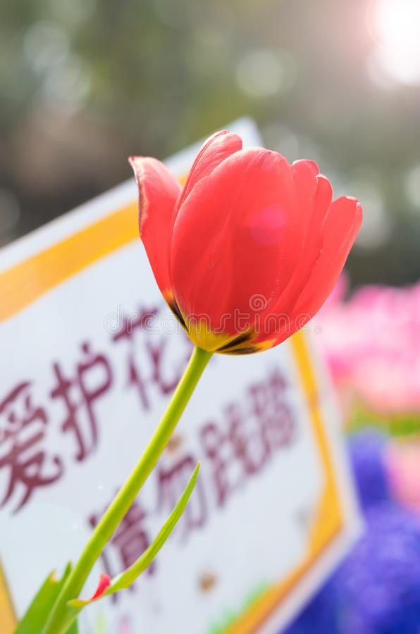 Tulips of Wuhan Botanical Garden. Tulips Tulipa form a genus of spring-blooming perennial herbaceous bulbiferous geophytes having bulbs as storage organs. The royalty free stock photos