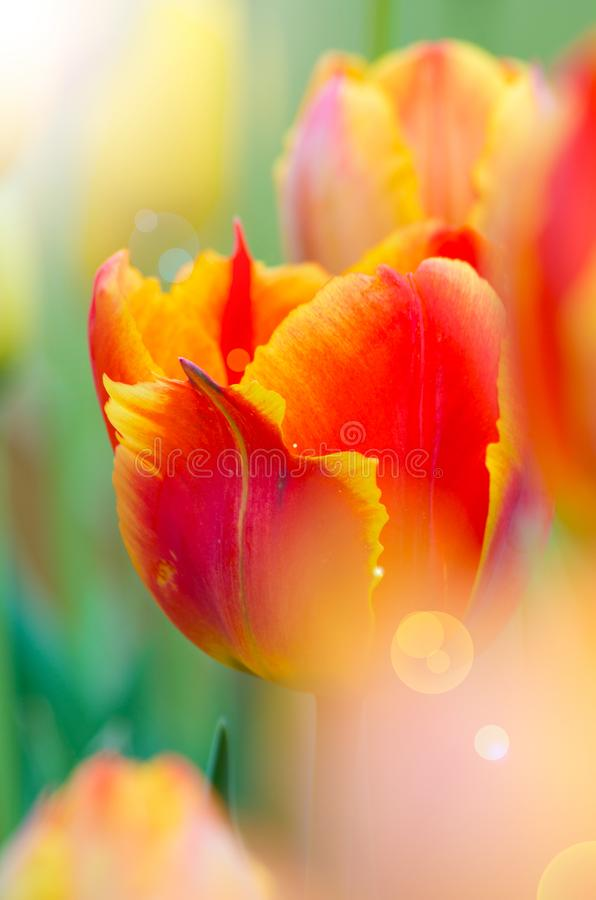 Tulips of Wuhan Botanical Garden. Tulips Tulipa form a genus of spring-blooming perennial herbaceous bulbiferous geophytes having bulbs as storage organs. The stock images
