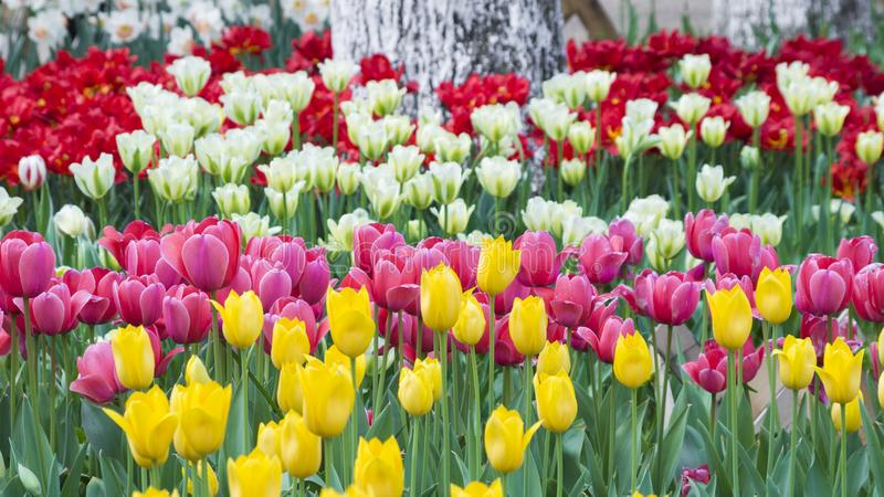 Tulips of Wuhan Botanical Garden. Tulips Tulipa form a genus of spring-blooming perennial herbaceous bulbiferous geophytes having bulbs as storage organs. The stock photo