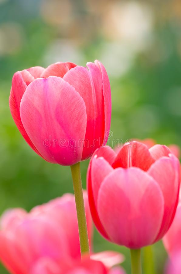 Tulips of Wuhan Botanical Garden. Tulips Tulipa form a genus of spring-blooming perennial herbaceous bulbiferous geophytes having bulbs as storage organs. The royalty free stock photography