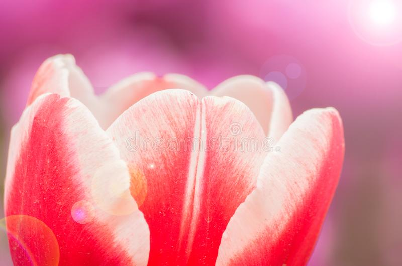 Tulips of Wuhan Botanical Garden. Tulips Tulipa form a genus of spring-blooming perennial herbaceous bulbiferous geophytes having bulbs as storage organs. The stock photography