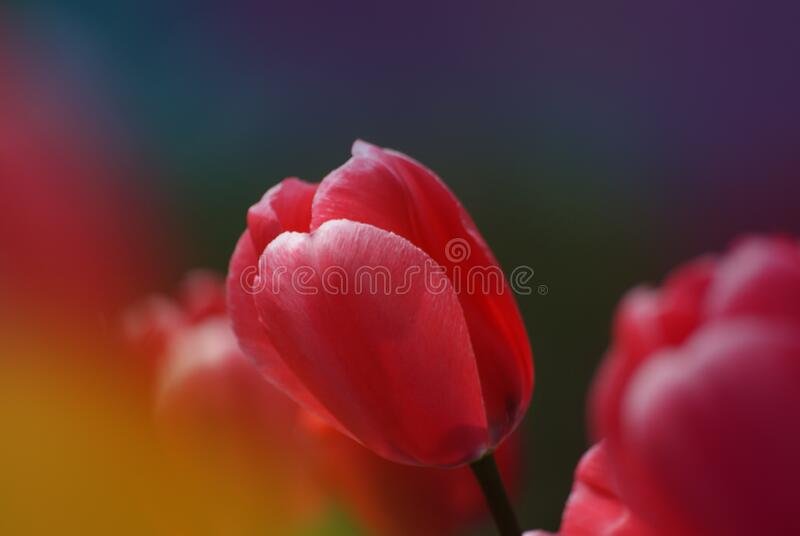 Tulips (24) stock photography