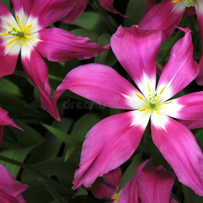 Tulipstars stock photography