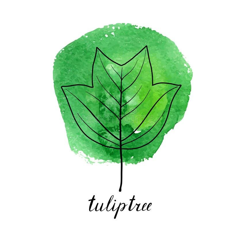 tuliptree传染媒介叶子  库存例证