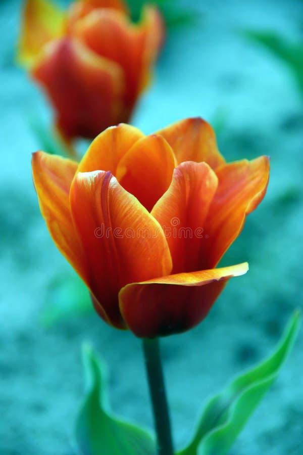 Tulp stock fotografie