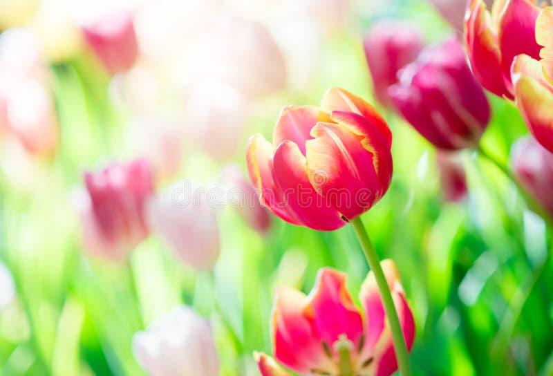 Tulp in de lente met zachte nadruk stock foto
