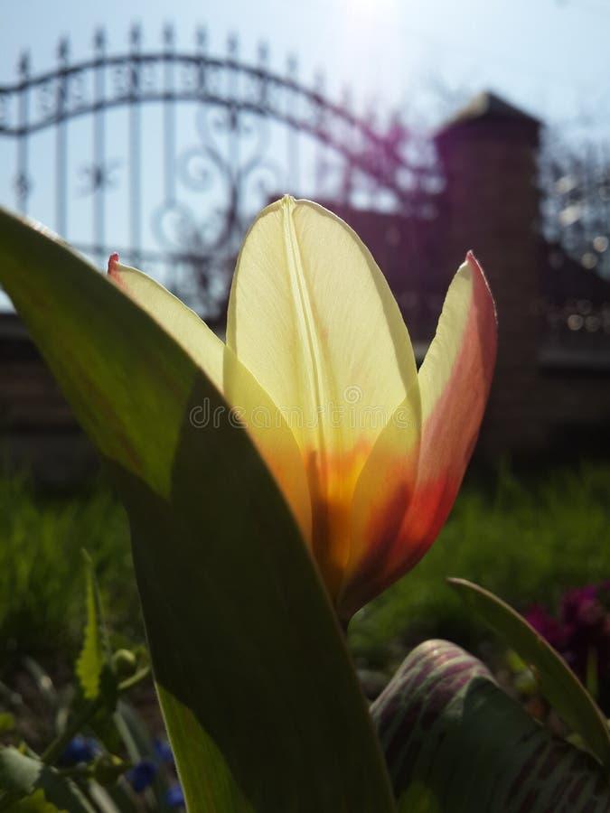 Tulp in de ochtend royalty-vrije stock foto