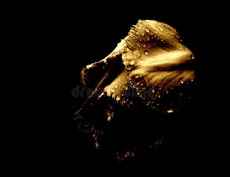 Tulp in de regen [4] stock foto