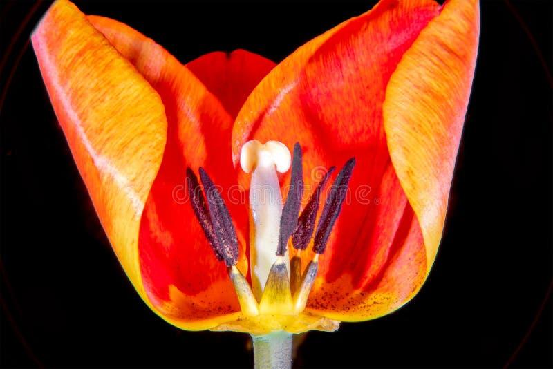 Tulp in dwarsdoorsnede stock foto