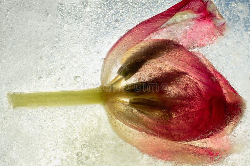 Tulp in ijs wordt opgesloten dat stock foto's