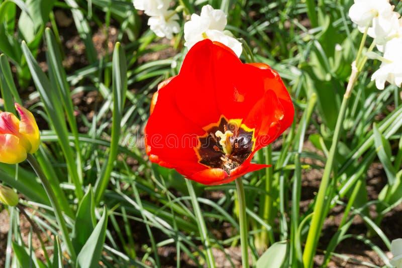 Tulp in Keukenhof royalty-vrije stock fotografie