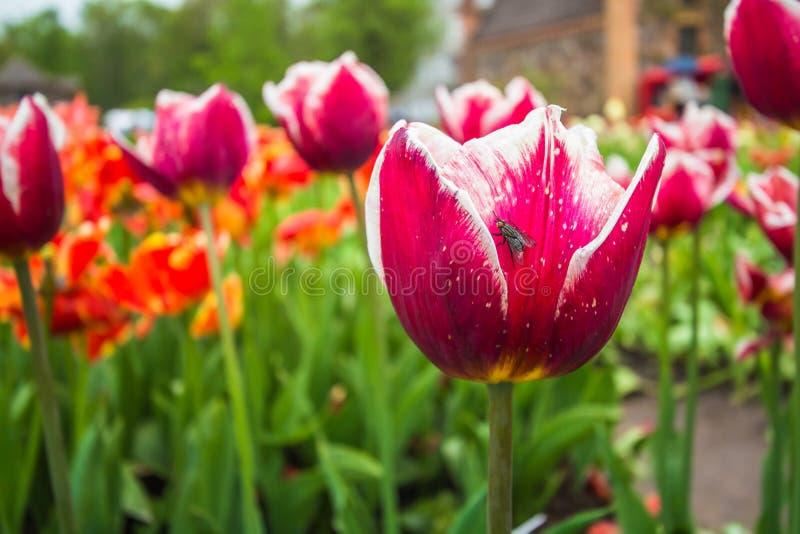 Tulp met insect royalty-vrije stock afbeeldingen