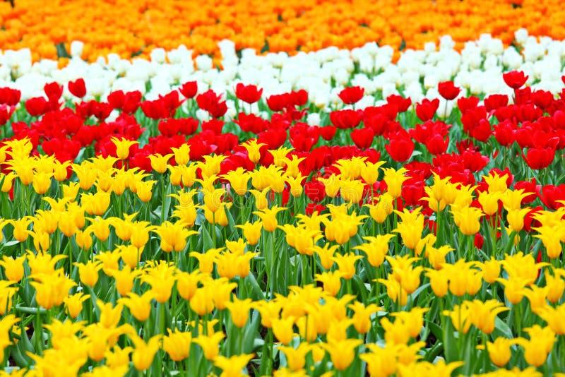Tulp op bloemgebied royalty-vrije stock foto