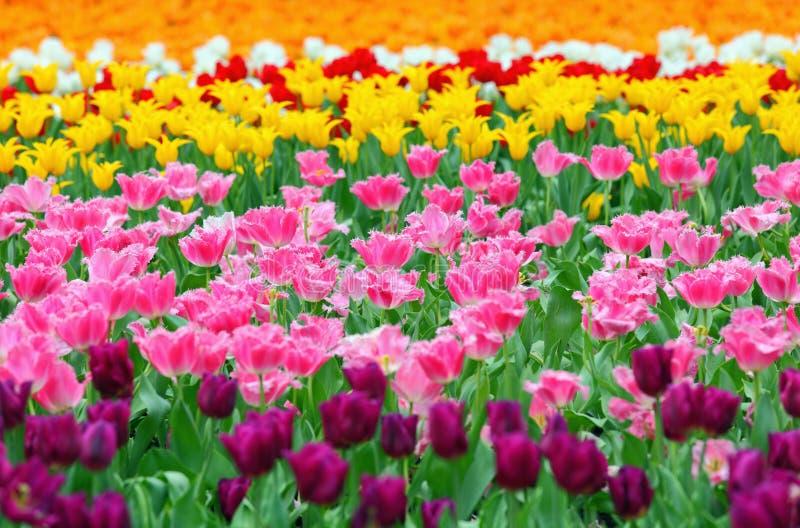 Tulp op bloemgebied royalty-vrije stock foto's