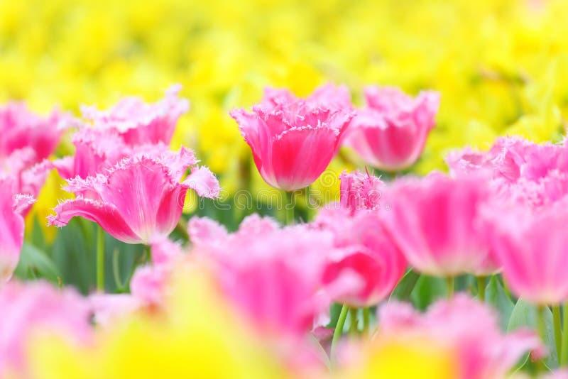 Tulp op bloemgebied stock afbeeldingen