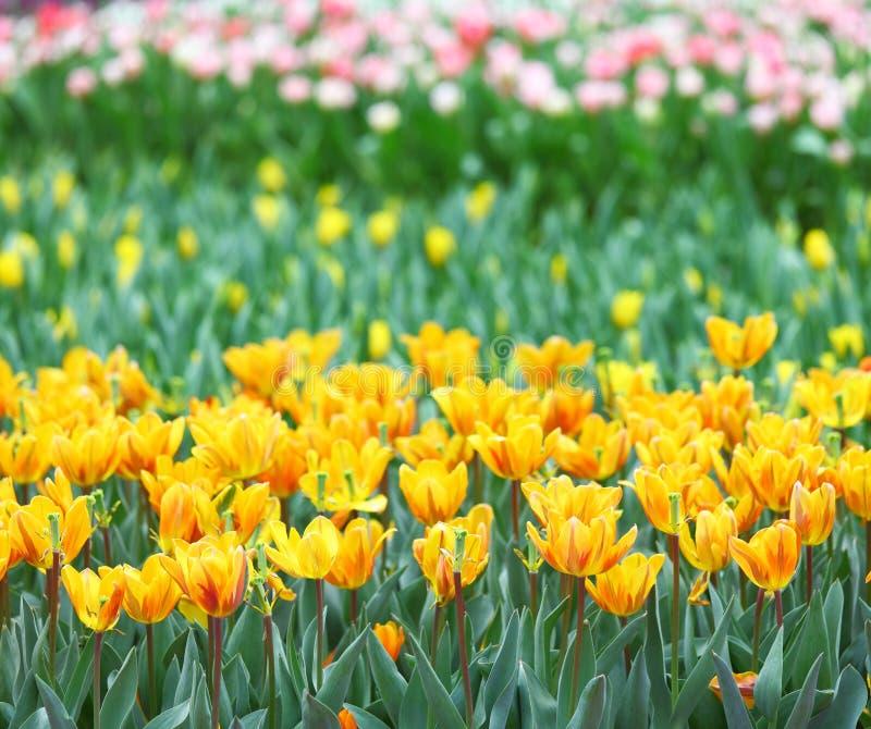 Tulp op bloemgebied royalty-vrije stock fotografie