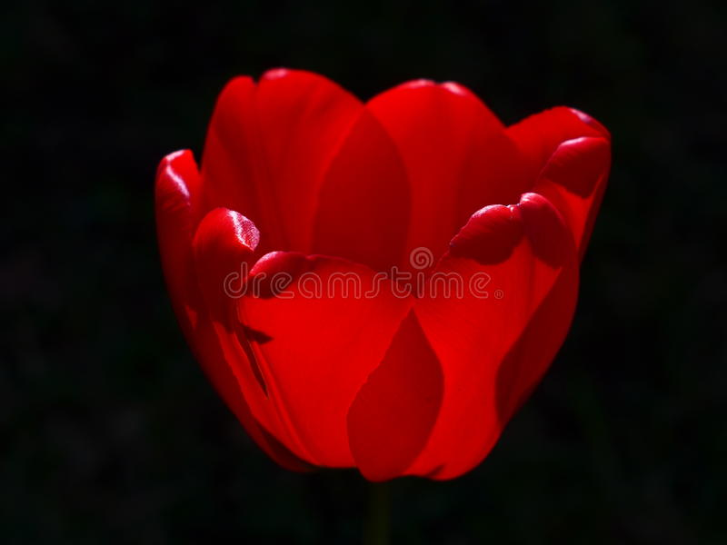 Tulp-rood royalty-vrije stock foto's