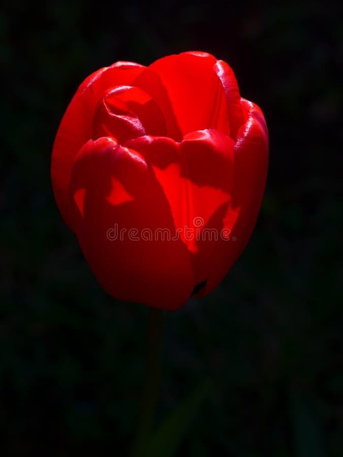 Tulp-rood stock foto