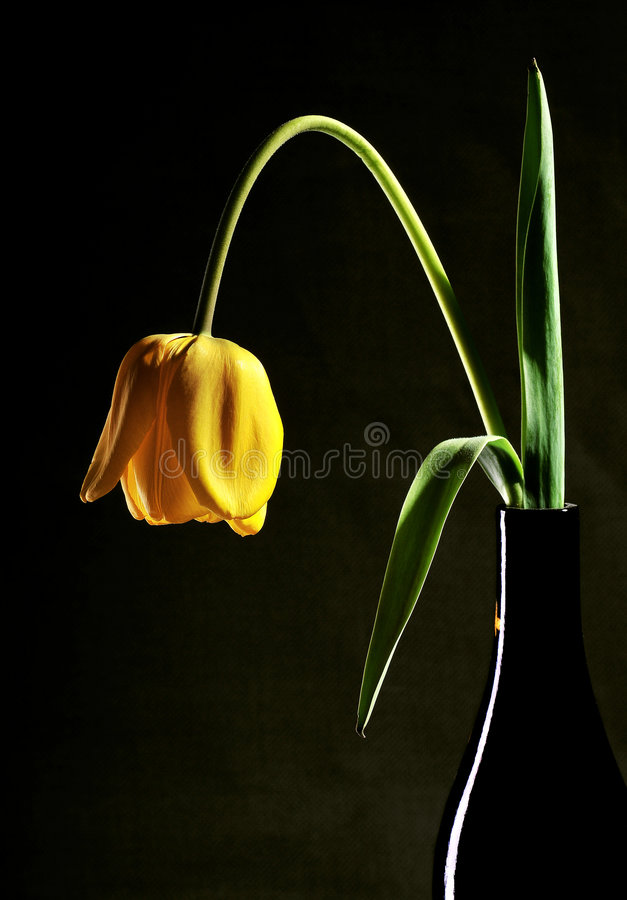Tulp in vaas royalty-vrije stock foto's