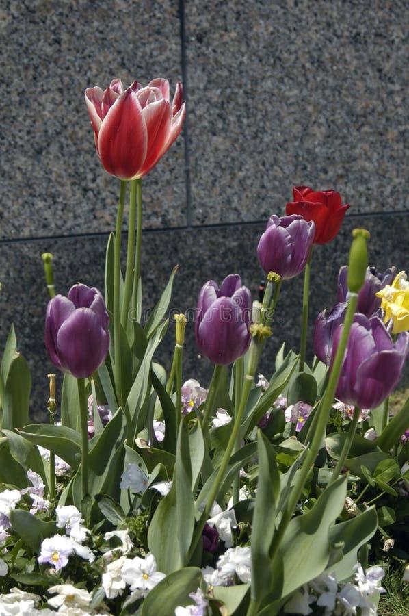Download Tulpan arkivfoto. Bild av blodsugare, green, purpurt, blommor - 511644