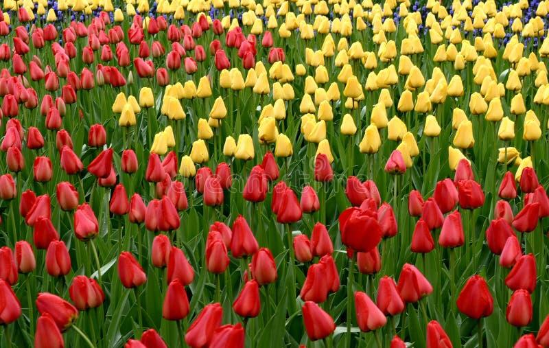 Download Tulpan arkivfoto. Bild av holland, rött, nederländerna - 513774