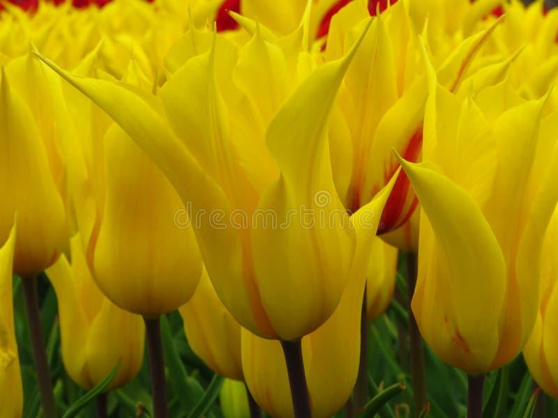 Tulpan ?Aladdin ?, lilja-blommad tulpan, b?gare-formade blommor med skarpa spetsiga kronblad Blomma f?r m?nga gult tulpan fotografering för bildbyråer
