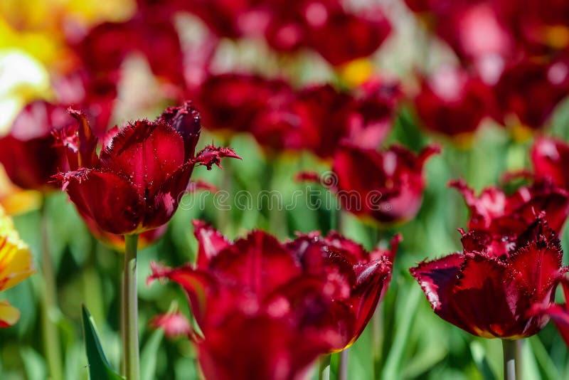 Tulpan arbeta i trädgården på våren, fältet för nya blommor fotografering för bildbyråer