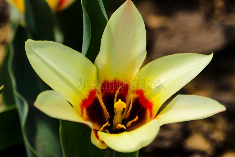 Tulpan blommar härligt i en trädgårdväxt, ett vårlandskap fotografering för bildbyråer