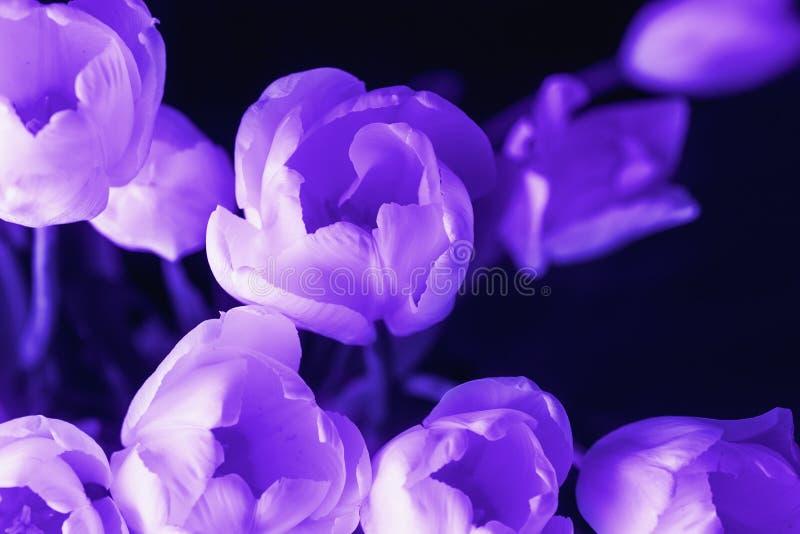 Tulpan blommar på svart bakgrund, makrofotoet, ultraviolet, eller lilor färgar tonat som den abstrakta bakgrunden arkivbild