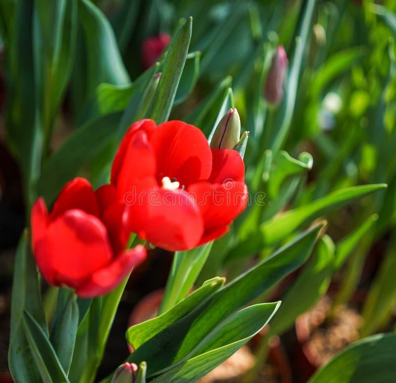 Tulpan blommar på Tao Dan Park i Saigon, Vietnam fotografering för bildbyråer