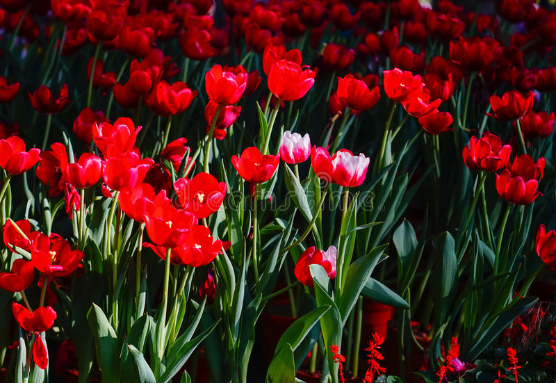 Tulpan blommar under solljus arkivbilder