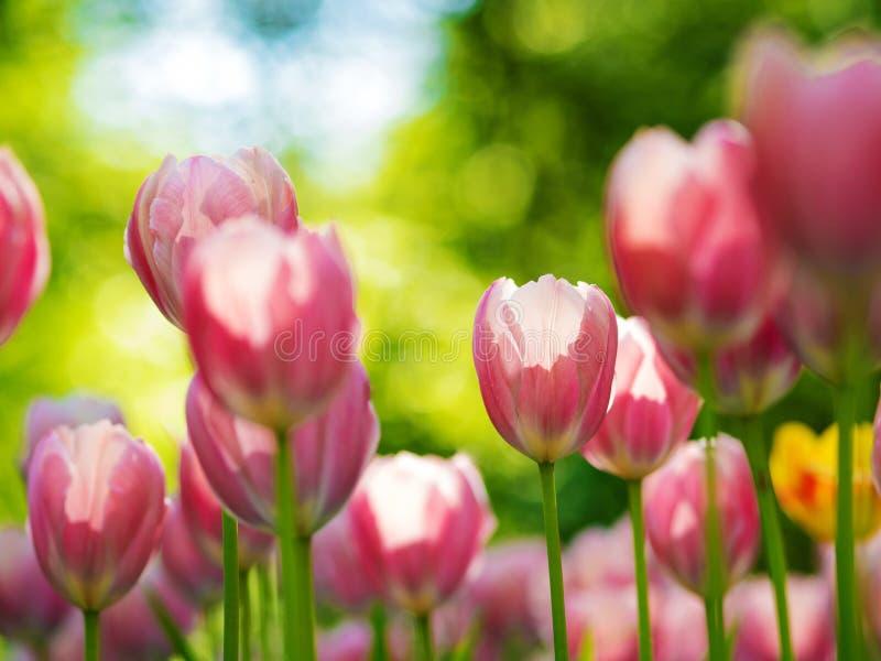 Tulpan Blomsterrabatten med olika variationer av tulpan i staden parkerar royaltyfria bilder