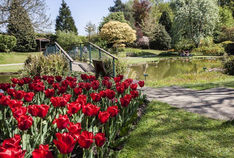 Tulpan bredvid bron över sjön i sceniska trädgårdar royaltyfri foto