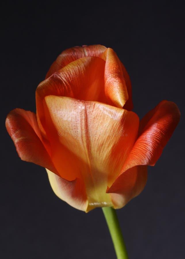 tulpan för blomblommared arkivbild
