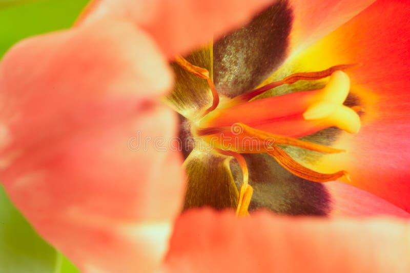 tulpan för blommamakrostamen fotografering för bildbyråer