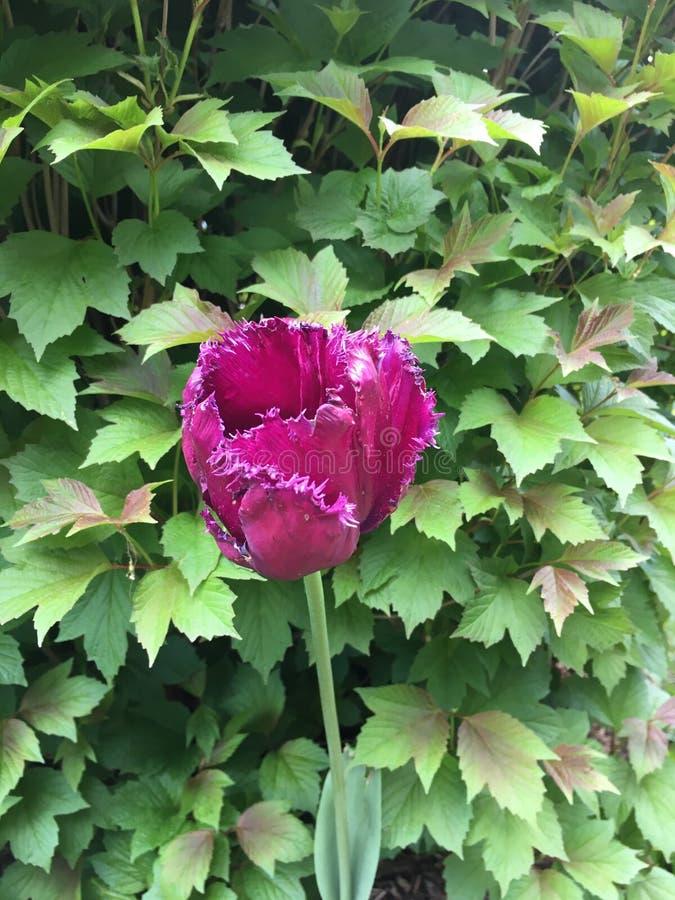 Tulpan för Fuschia rosa färgfrans royaltyfri fotografi
