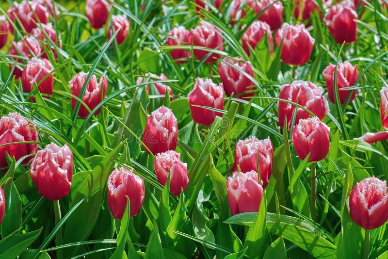 tulpan för 1 gräsred royaltyfri fotografi