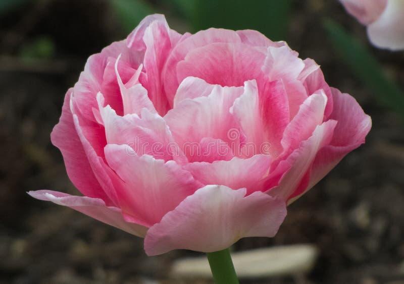 Tulpan för rosa färger för makro vit och med gräsplan royaltyfri bild