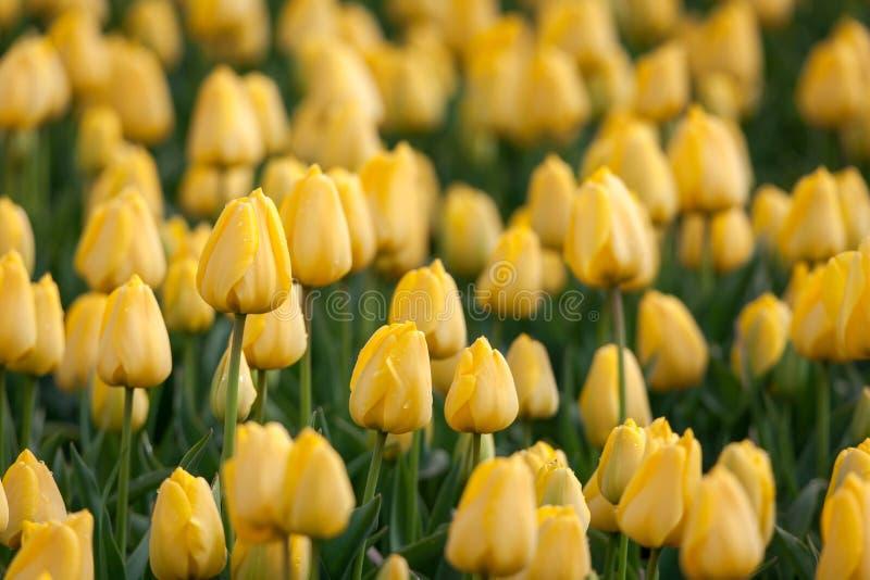 Tulpan Härliga gula tulpanblommor i vårträdgården, blom- bakgrund fotografering för bildbyråer