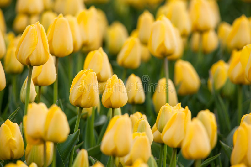 Tulpan Härliga gula tulpanblommor i vårträdgården, blom- bakgrund arkivfoton