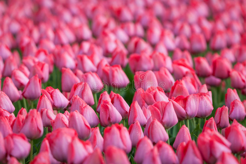 Tulpan Härliga rosa tulpanblommor i vårträdgården, loral bakgrund fotografering för bildbyråer