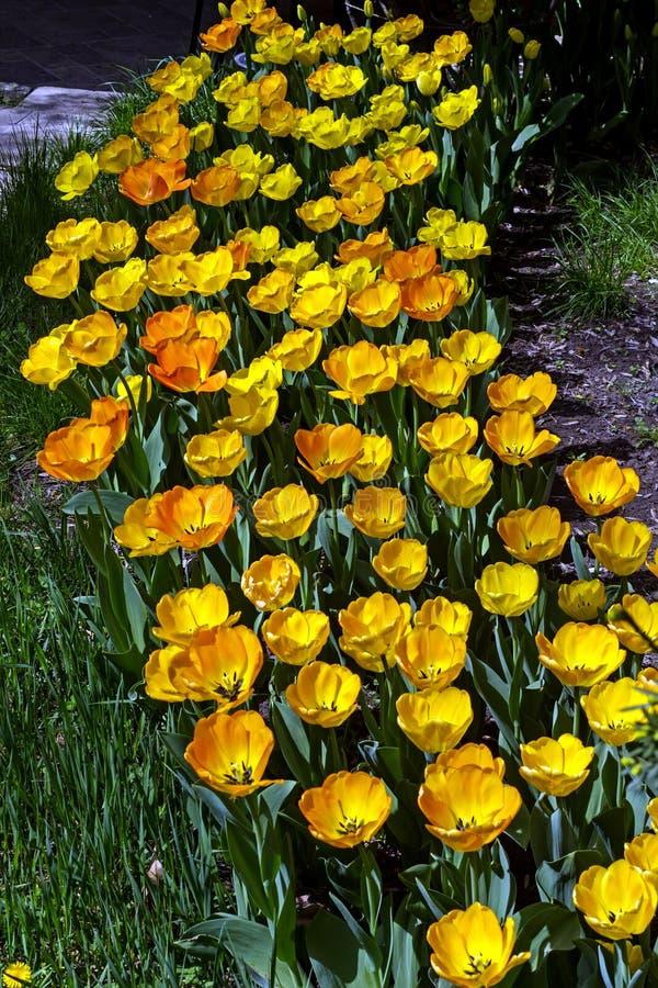 Tulpan i blomsterrabatten royaltyfri bild