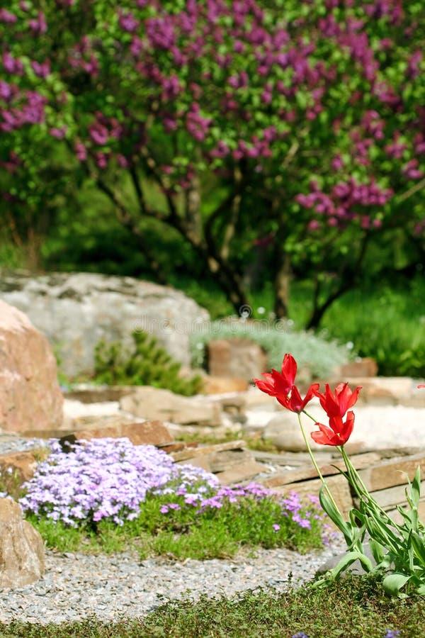 Tulpan i botaniskt till en trädgård royaltyfri foto