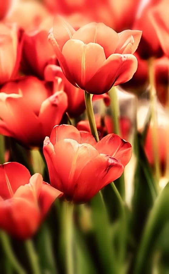 Tulpan i pastell färgar fotografering för bildbyråer