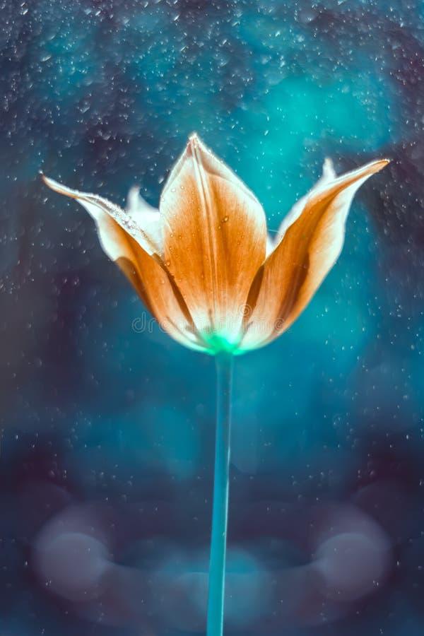 Tulpan i regna Tulpan av härlig tonalitet royaltyfri foto