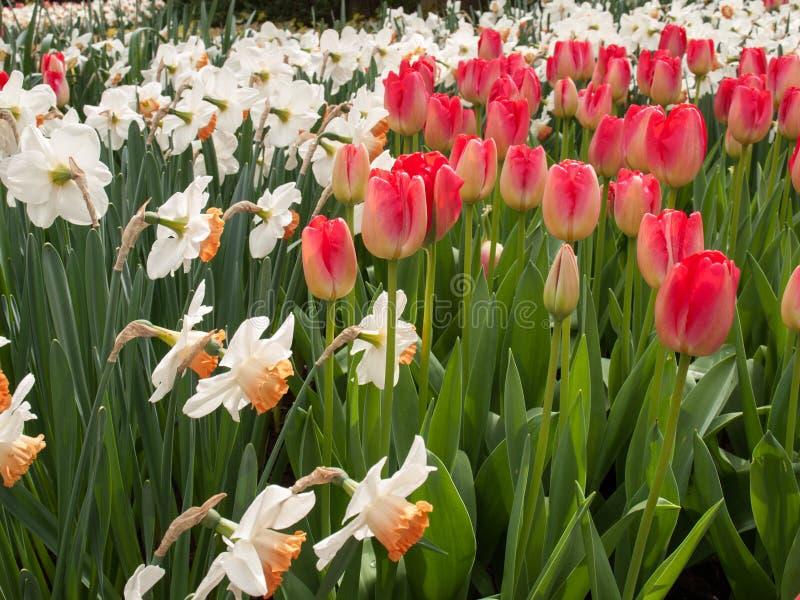 Tulpan kallade Judith Leyster och de vita påskliljorna som blommar i den Keukenhof trädgården i Lisse, Holland arkivfoto